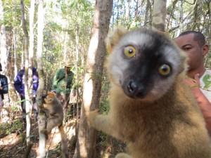 Lemur in Foret de Kirindy